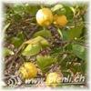 Bild von Citronenblüten Honig 500g