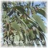 Bild von Eukalyptus Honig 500g