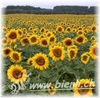 Bild von Sonnenblumen Honig AKTION 3 x 500g