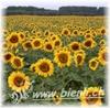 Bild von Sonnenblumen Honig 500g